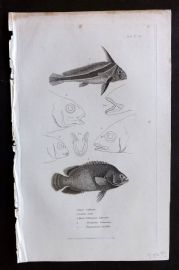 Cuvier 1834 Antique Fish Print. Eques, Lobotes, Hoemulion
